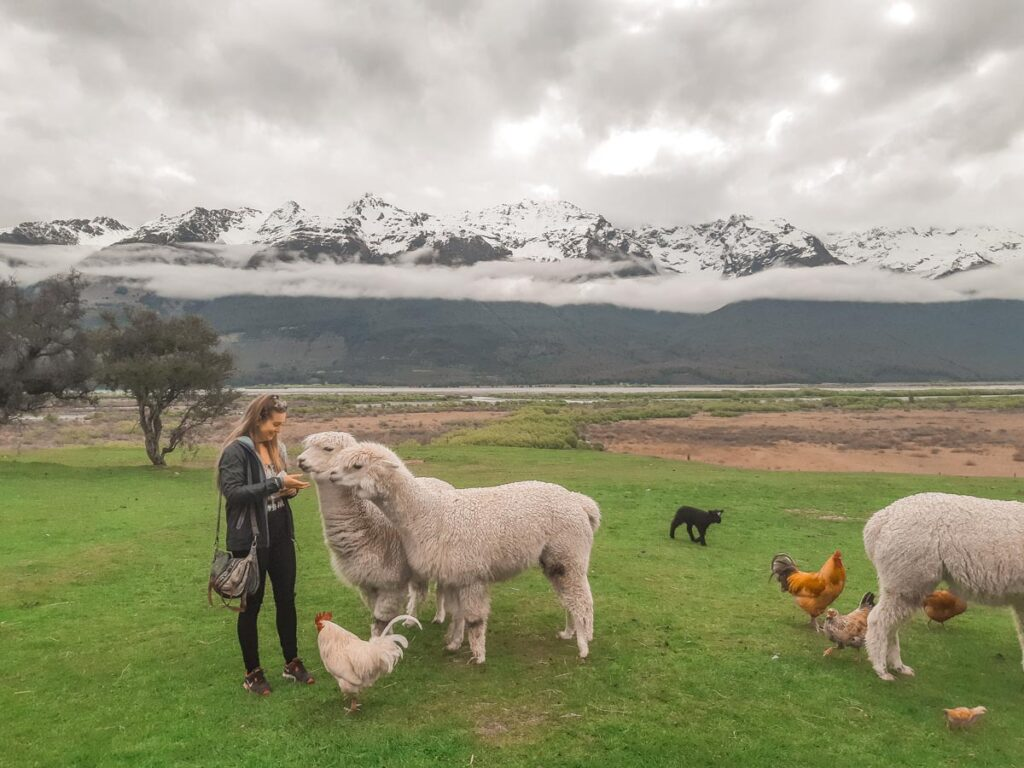 A lady feeds llamas at the Glenorchy Animal Experience