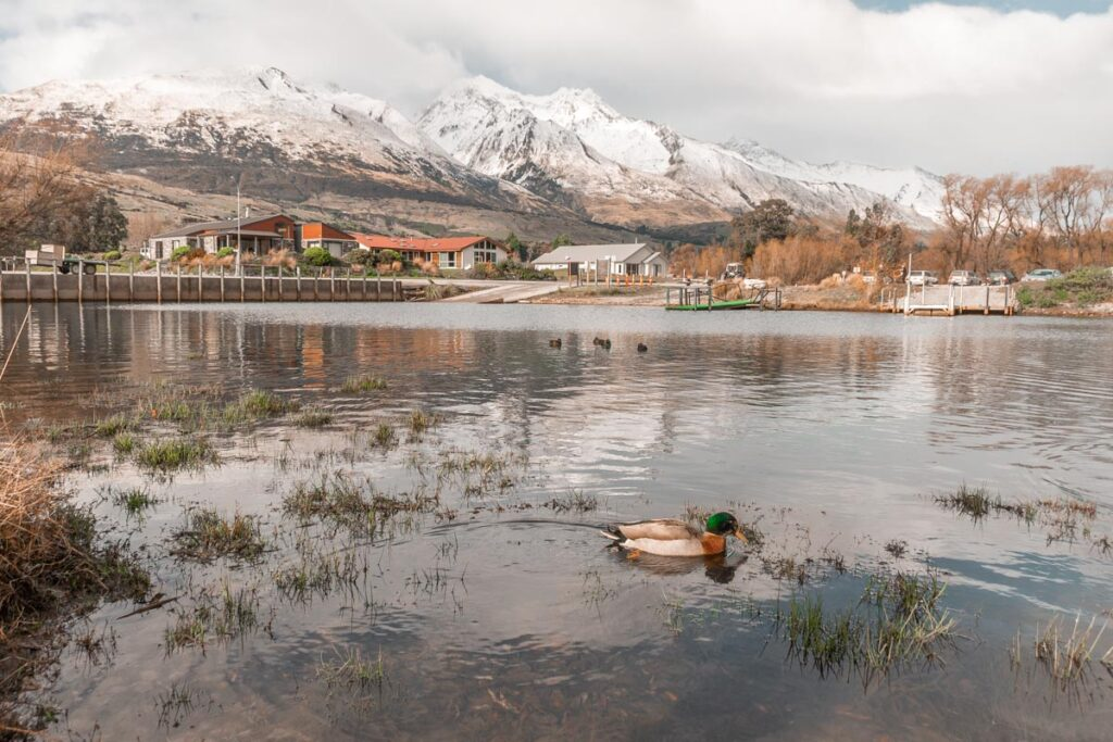 A duck swims in Lake Wakatipu in Glenorchy, New Zealand