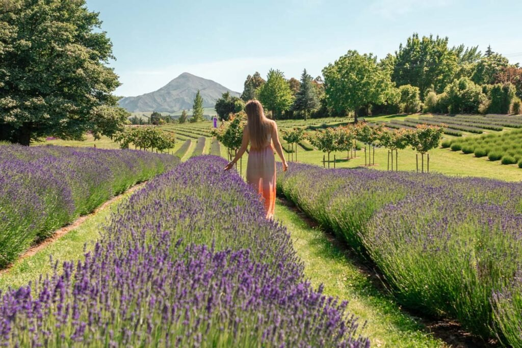 Bailey walks down a row of lavender at the Wanaka Lavender Farm