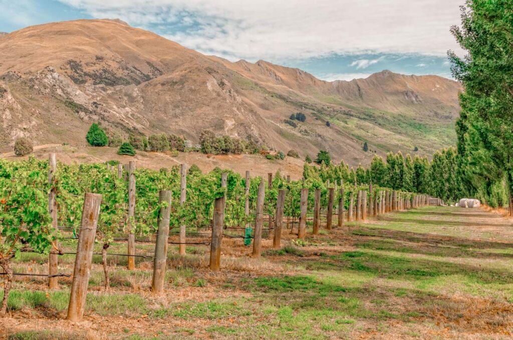 Grape vines at Rippon Winery, Wanaka