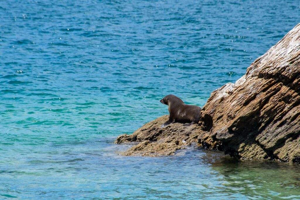 A seal in the Marlborough Sounds on the south island