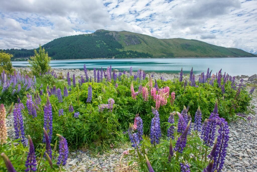 Views of lupins and Lake Tekapo on the south island of New Zealand