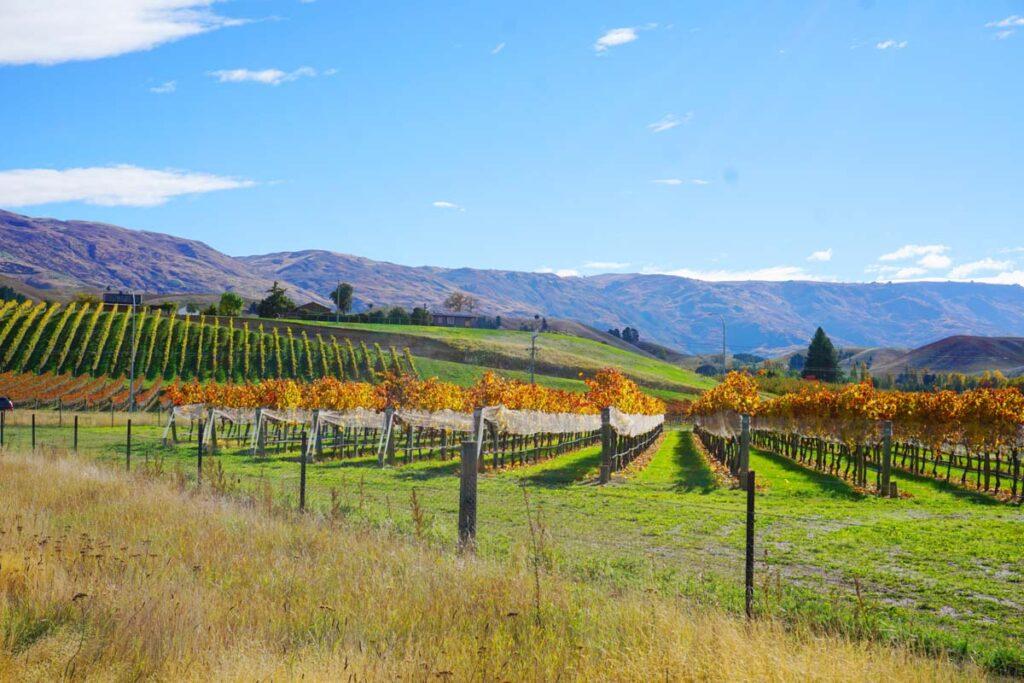 A vineyard in Cromwell, New Zealand