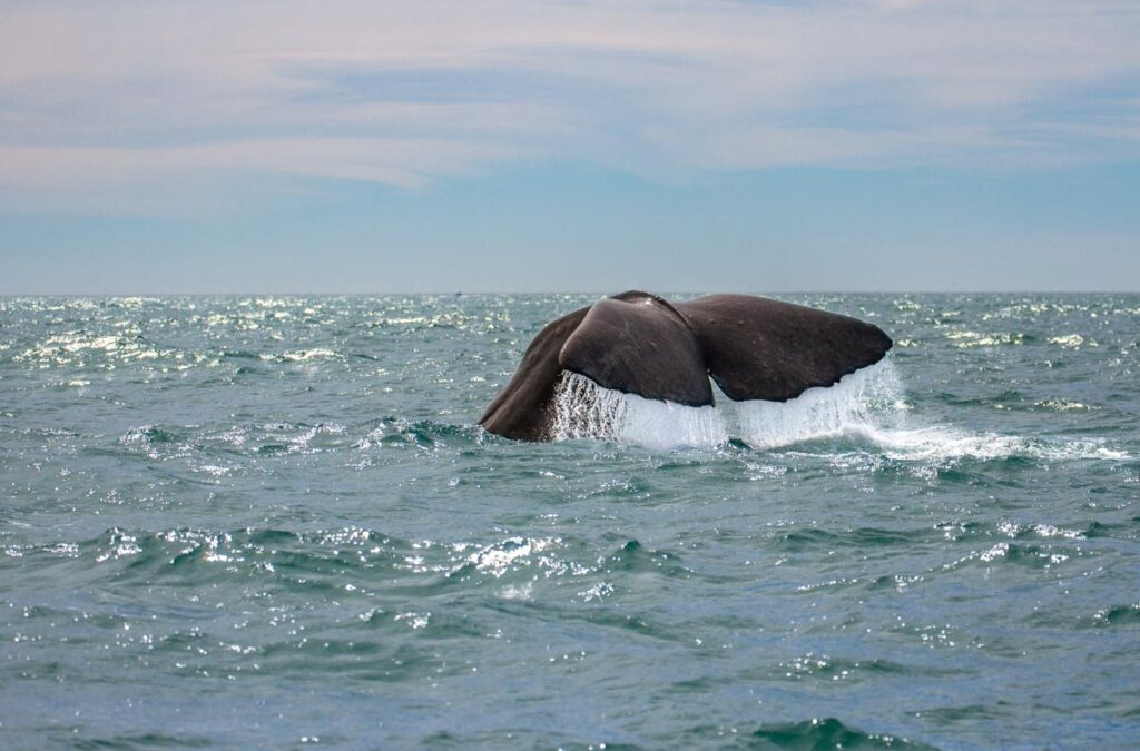 A wale reaches the water in Kaikoura, New Zealand