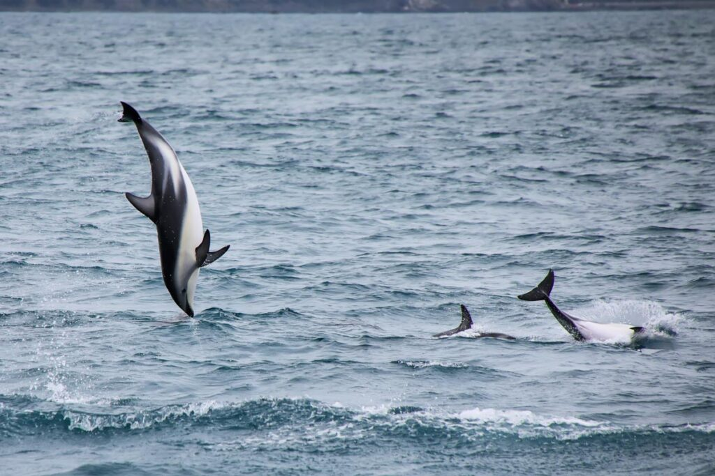 A dusky dolphin jumps from the water in Kaikoura in New Zealand