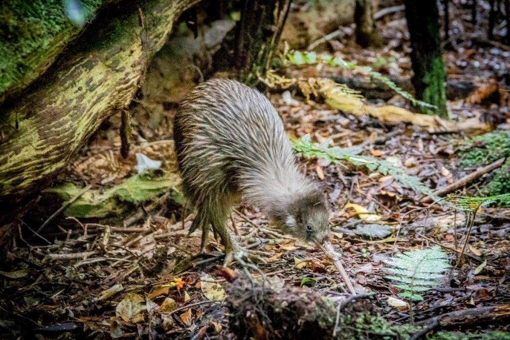 A kiwi bird on Stewart Island