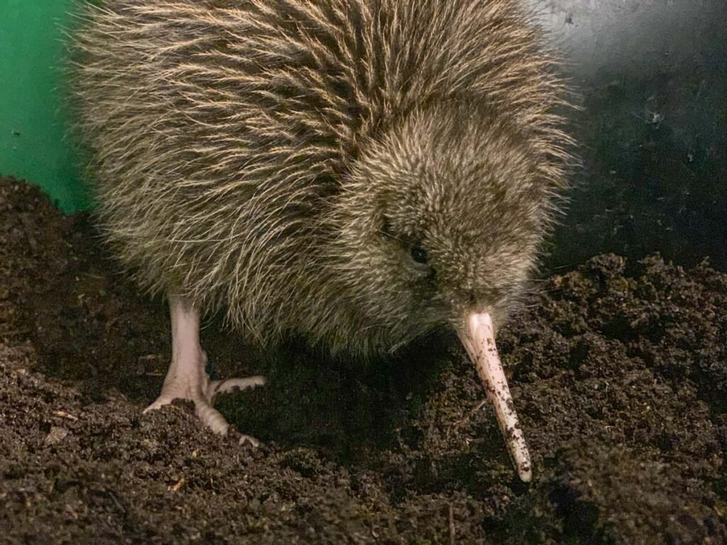 A kiwi bird at the West Coast Wildlife Center