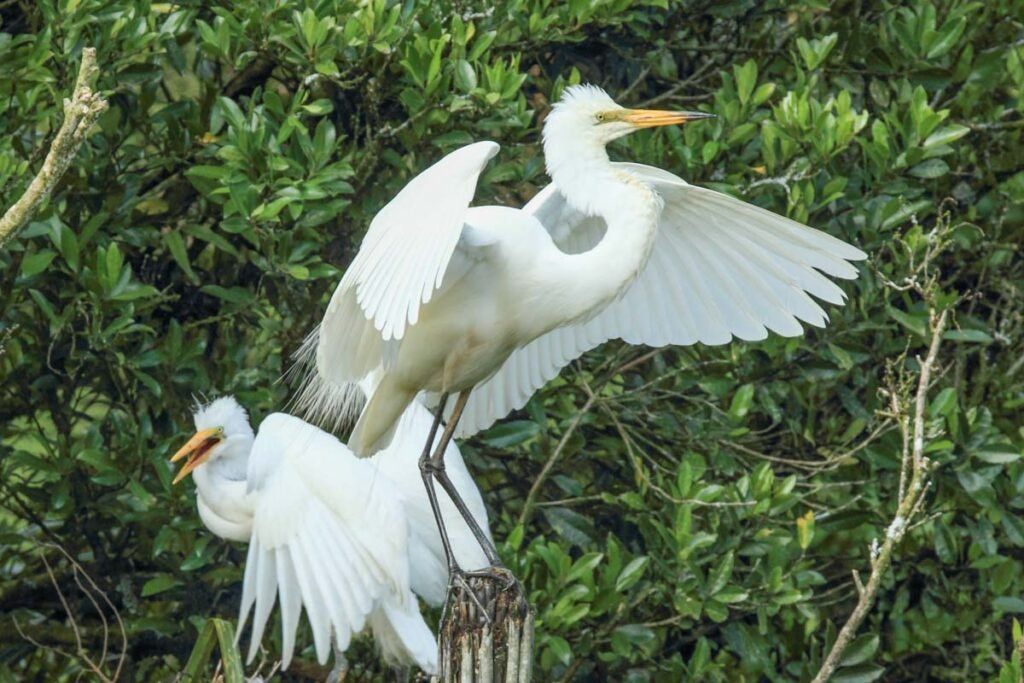 Two white heron at the Waitangi Roto Nature Reserve