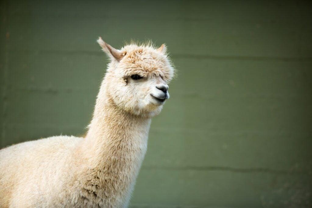 white young alpaca