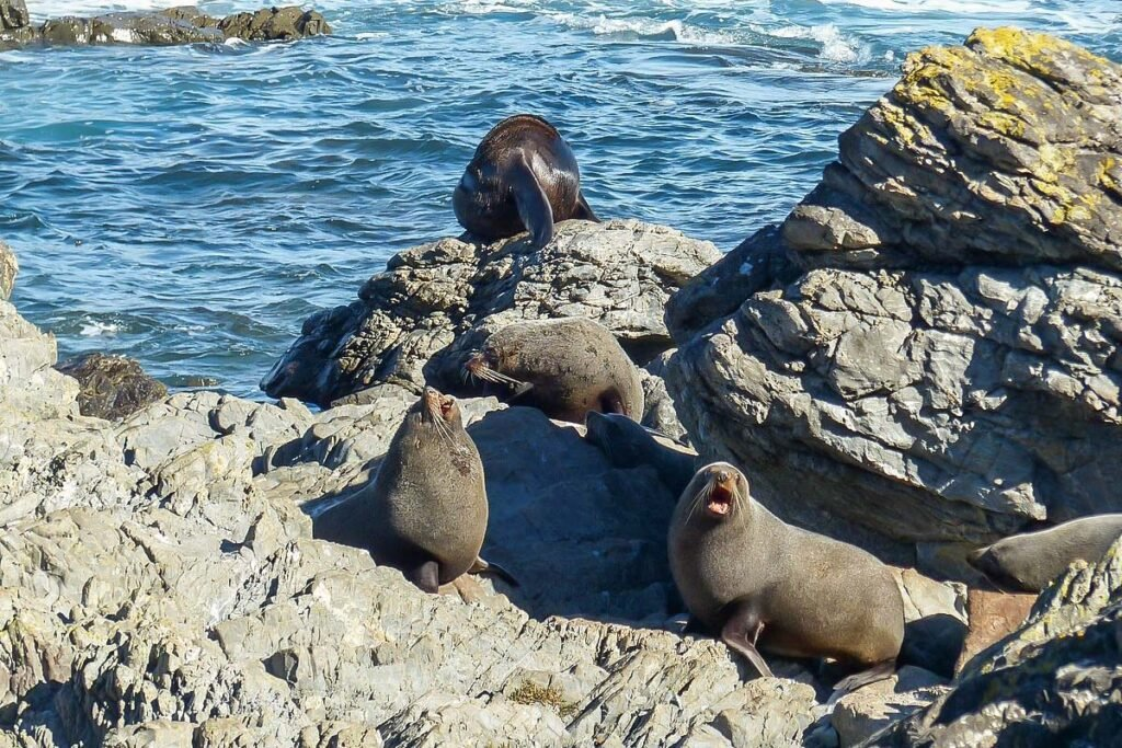 Seals at the Red Rocks Coastal Track